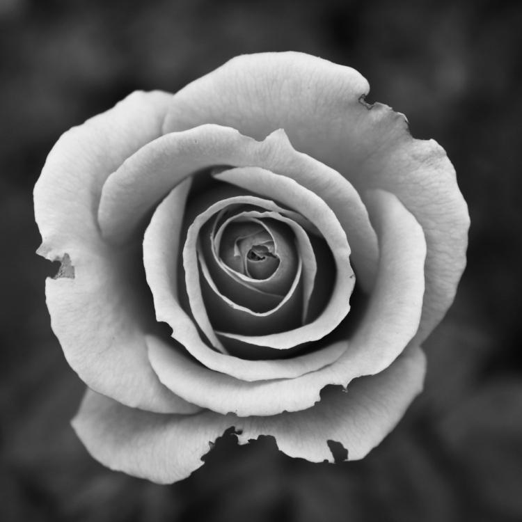 Wabi-Sabi Rose